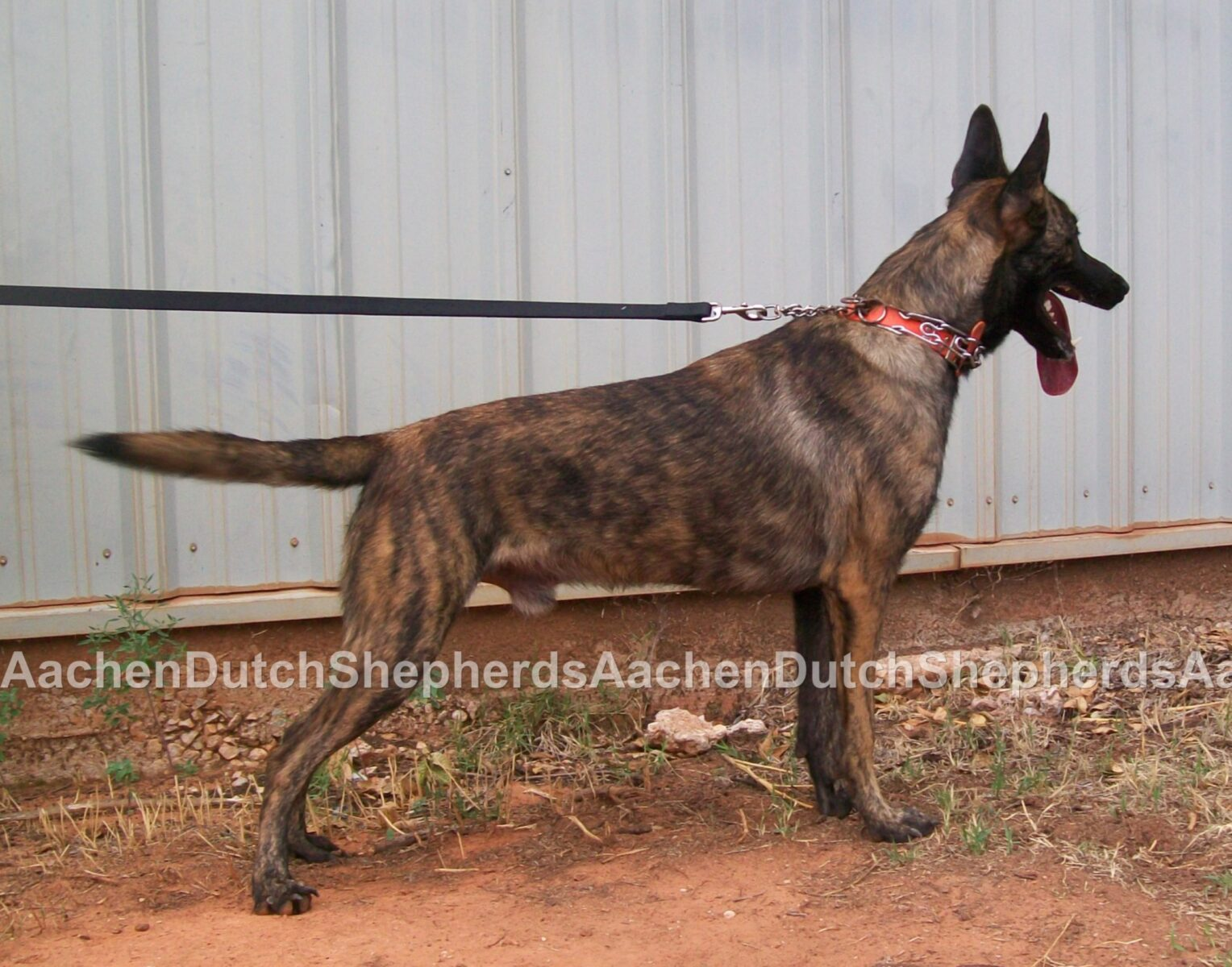 Leashed Dutch Shepherd