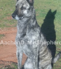 Multicolored Dutch Shepherd