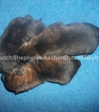 Black brindle Dutch Shepherd puppies