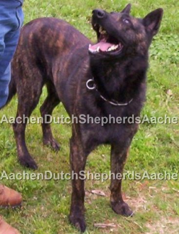 Dutch Shepherd Puppies for Sale | Aachen Dutch Shepherds