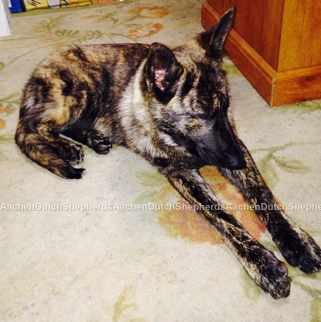 Dutch Shepherd Puppies For Sale Aachen Dutch Shepherds