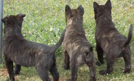 Dutch Shepherd puppies standing by fence
